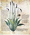 62-Dioscoride A.jpg