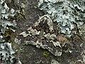 70.251 BF1930 Oak Beauty, Biston strataria (3121707829).jpg