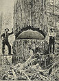 9-foot diameter Douglas Fir - 1900.jpg
