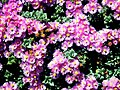 A@a part of Andr. garden - panoramio (4).jpg