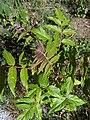 A. altissima - plant - 2.jpg