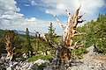 A112, Great Basin National Park, Nevada, USA, bristlecone pine tree, 2004.jpg