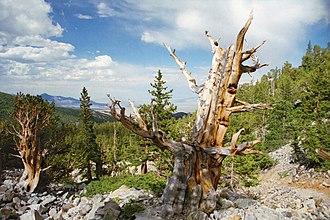 Great Basin National Park - Pinus longaeva