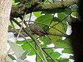 A Chestnut-Tailed Starling near Basirhat.jpg