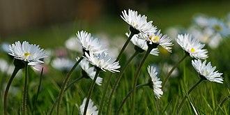 Bellis perennis - Daisies, Bellis perennis