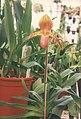 A and B Larsen orchids - Paphiopedilum Pinocchio x rothschildianum 419-17.jpg