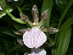 A and B Larsen orchids - Zygopetalum Mackai DSCN2174.JPG
