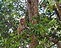 A baby Toque Macaque Monkey sitting on a branch.jpg