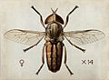 A cleg or horse fly (Tabanus ditaeniatus). Coloured drawing Wellcome V0022557.jpg
