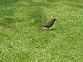 A female blackbird - geograph.org.uk - 461243.jpg
