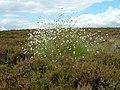 A fine clump of cotton grass - geograph.org.uk - 875161.jpg