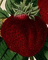 """A fruiting """"Ingram's Frogmore Late Pine"""" strawberry plant (Fr Wellcome V0044427 (cropped).jpg"""
