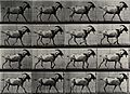 A goat walking. Photogravure after Eadweard Muybridge, 1887. Wellcome V0048762.jpg