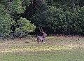 A graceful chital deer.jpg