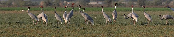 A flock of Sarus Cranes in a field in Gujarat