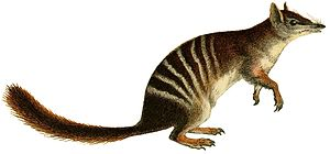 Quoll - 60 px