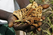 Recently harvested finger millet in a person's hands
