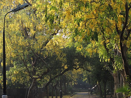 Delhi street with Indian laburnum in bloom, 2014. Photo credit: Ashutosh Dalal/Wikimedia Commons [Licensed under CC-by-SA 4.0]