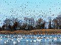 A mixed flock - 9 (12331248533).jpg
