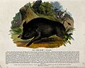 A wild boar being hunted by a huntsman and two dogs. Coloure Wellcome V0020513.jpg