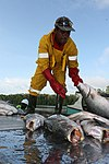 A worker unloads fish at the Maria Bintang Laut& fish cooperative in Pomako (4875026392).jpg