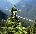Abies amabilis Crystal Peak Trail.jpg