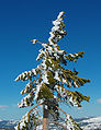 Abies magnifica West Truckee CA.jpg