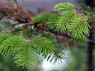 <i>Abies sachalinensis</i> species of plant