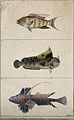 Above, a banded gilt head; middle, a occellated blenny; belo Wellcome V0020780EL.jpg