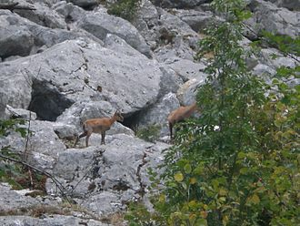 Chamois - Abruzzo chamois (R. p. ornata) on the Gran Sasso mountain