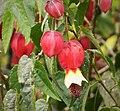Abutilon sp - Flickr - gailhampshire.jpg
