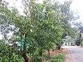 Acacia - അക്കേഷ്യ 01.JPG