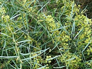 <i>Acacia iteaphylla</i> Species of plant