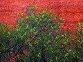 Acacia olgana.jpg