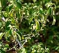 Acalypha fruticosa W IMG 3172.jpg