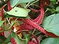 Acalypha hispida 1.JPG