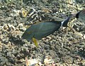 Acanthurus xanthopterus Réunion.jpg