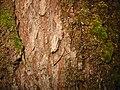 Acer macrophyllum bark 7532.jpg