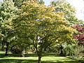 Acer palmatum 'osakazuki' 01-10-2005 14.11.46.JPG