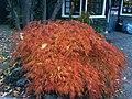 Acer palmatum cultivars Giethoorn.jpg