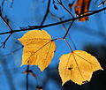 Acer rufinerve yellow leaves.jpg
