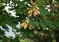 Acer trautvetteri 4.jpg