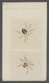 Acercus - Print - Iconographia Zoologica - Special Collections University of Amsterdam - UBAINV0274 070 05 0007.tif