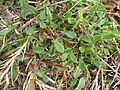 Acetosella vulgaris plant9 (11508008843).jpg