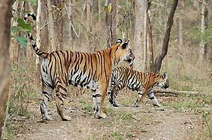 Achanakmar Wildlife Sanctuary - Two of the sanctuary's C.35 Bengal tigers.