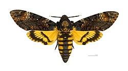 Acherontia atropos MHNT dos.jpg