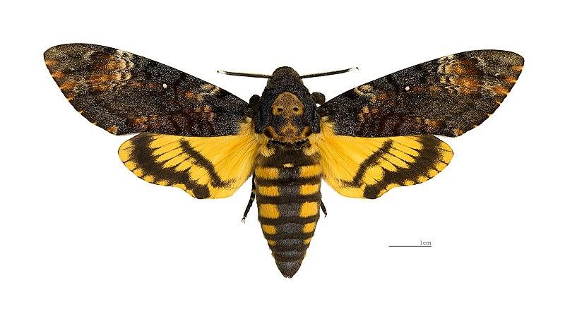 File:Acherontia atropos MHNT dos.jpg