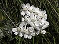 Achillea clavennae - Steinraute III.jpg