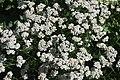 Achillea millefolium in Jardin botanique de la Charme.jpg