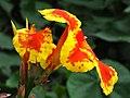 Achira (Canna indica) (14618115357).jpg